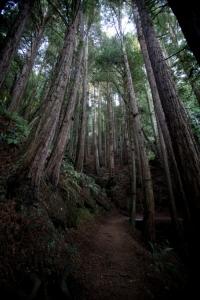 Redwoods Mellow Conspiracy